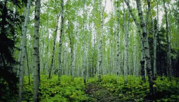 Low angle view of birch trees in a forest, Minnesota, USA