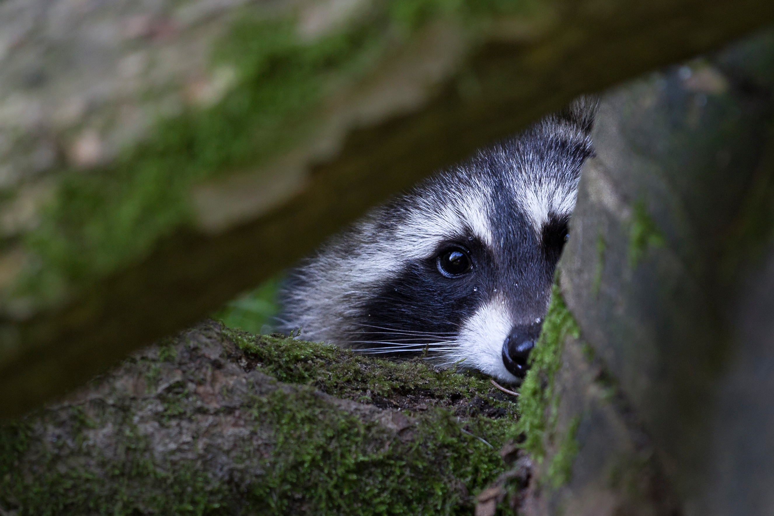 Portrait Of Raccoon Seen Through Branches