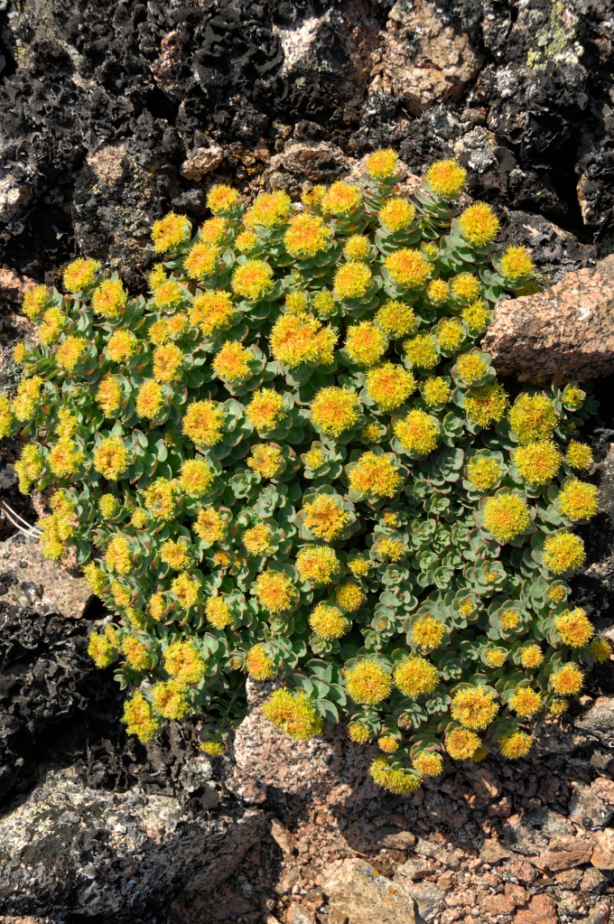 Roseroot Stonecrop flowers on the tundra - Greenland