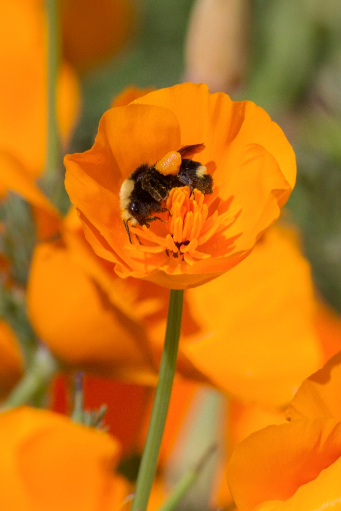 Bumble Bee cover iln pollen in Calilfornia Poppy