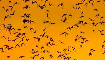 Swarm of Bats on sunset