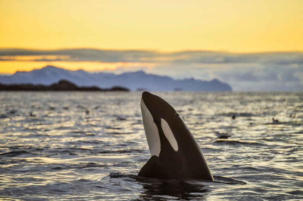 Orca (Orcinus orca) looking out of the water, Spyhopping, sunset, mountains at back, Kaldfjorden, Tromvik, Norway