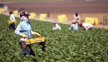 Migrant workers harvesting strawberries