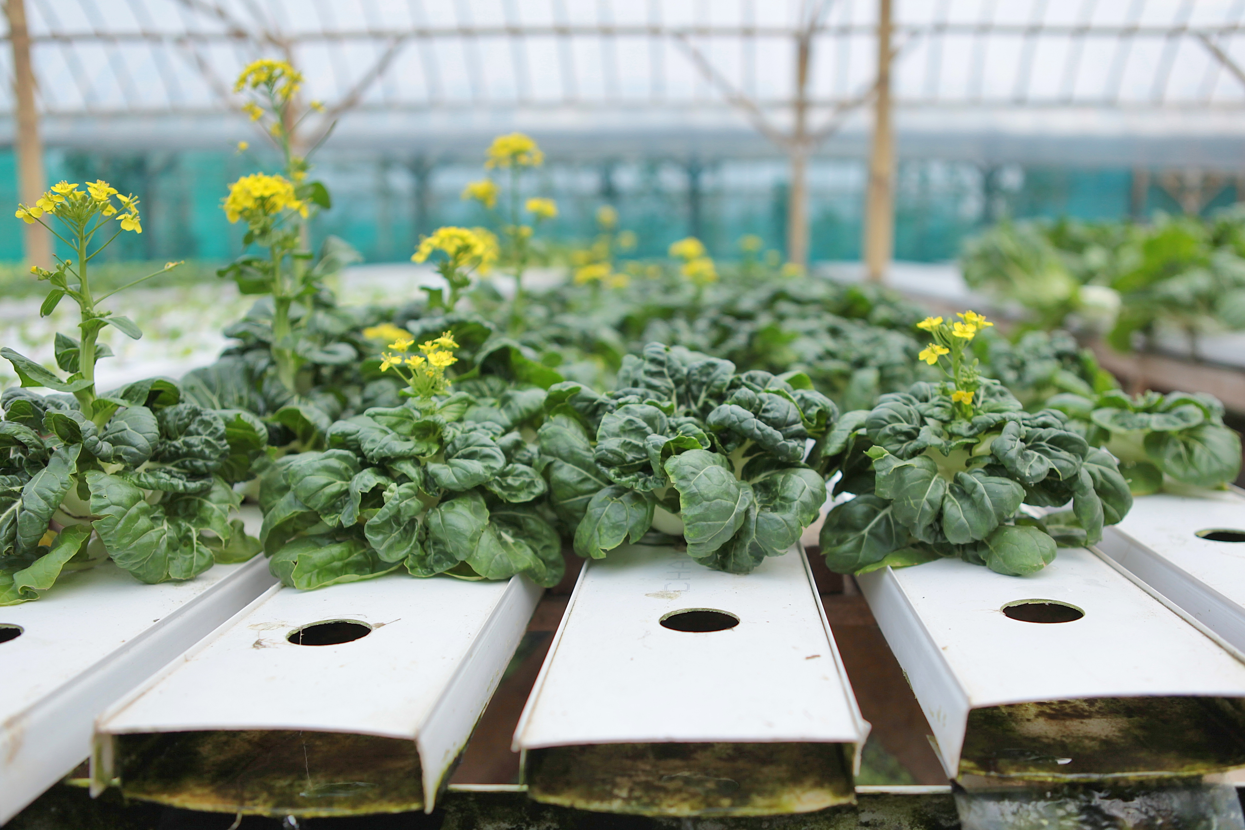 Chinese lettuce seedlings growing in hydroponic farm