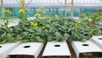 Chinese lettuce seedlings growing in hydroponic farm
