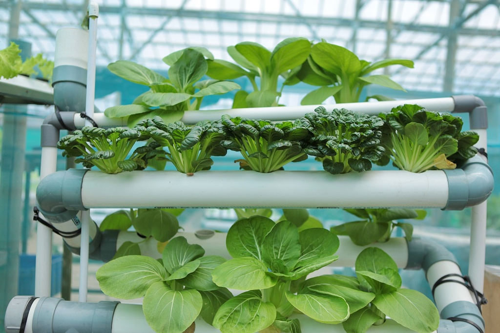Bok choy seedlings growing in a hydroponic farm.