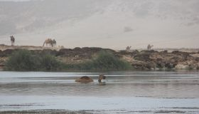 Camel Swimming In Lake Against Mountain