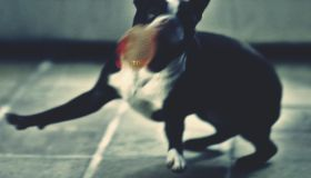 French Bulldog Playing With Ball