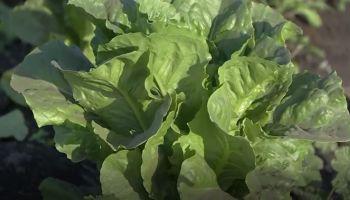 Lettuce Warning