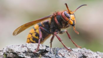 Hornet Queen (Vespa crabo), Emsland, Lower Saxony, Germany